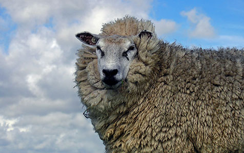 Sheep innovation wins $10m