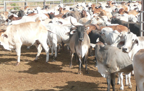 Beef Futures to benefit state's north