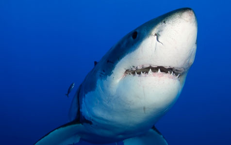 Shark cull outcry overreaction
