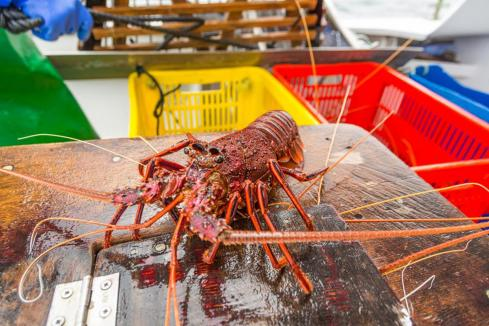 Government compromises on rock lobster plan