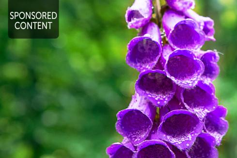 Foxgloves for the heart - Cardio health from the garden