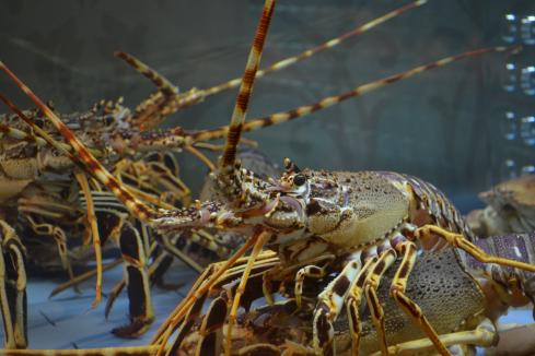 WA increases lobster catch