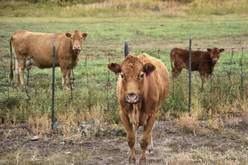 Harvest Road makes progress on $51m feedlot plan