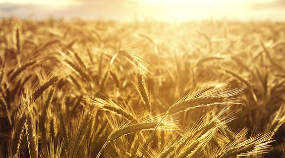 New golden crop for Wheatbelt
