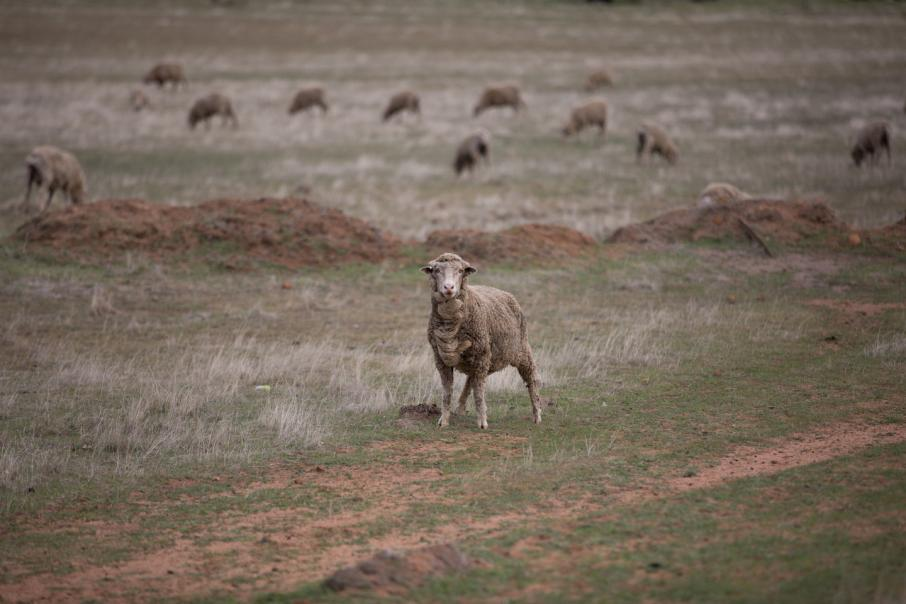 Labor likely to phase out live sheep exports