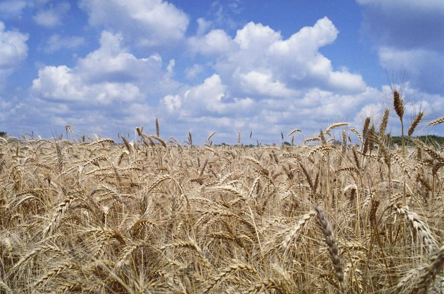 Asia hungry for wheat amid Australian drought