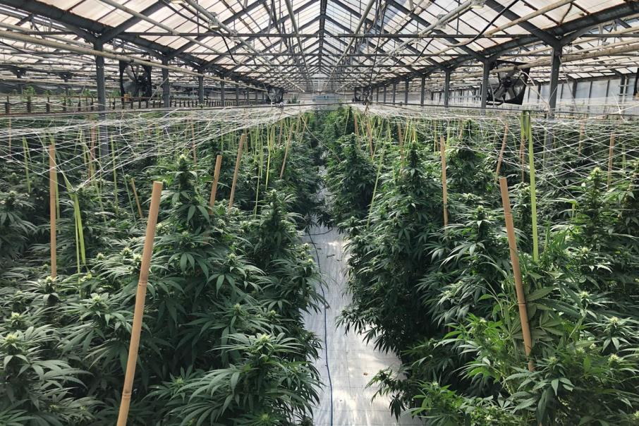 Independent nod for quality of MGC's cannabis strains